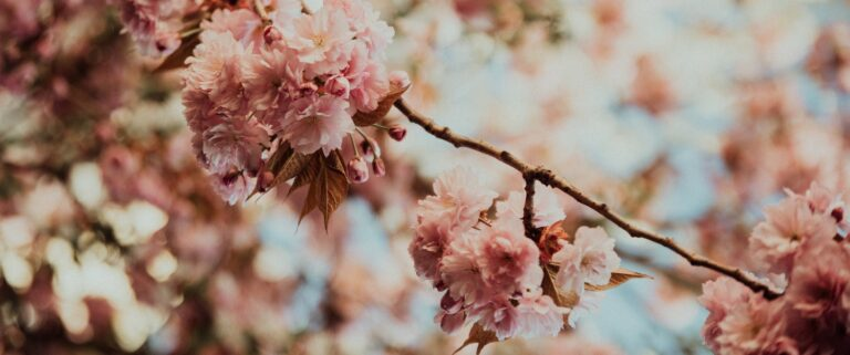 Blossom Watch With The National Trust